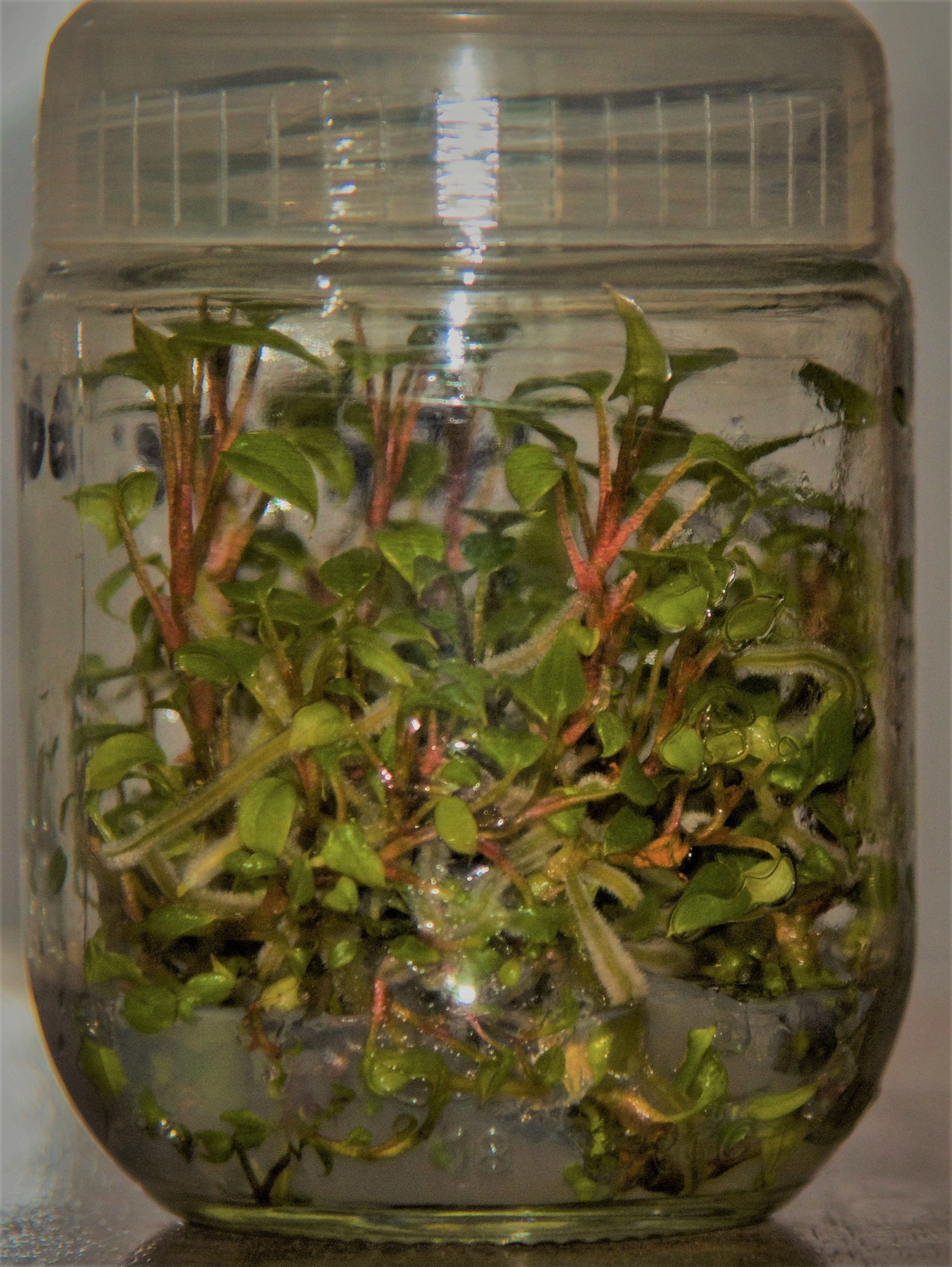 Anthurium tissue culture